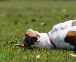 老犬は尻尾が下がるし、お尻も小さくなってきたのは完全老化現象それとも病気?